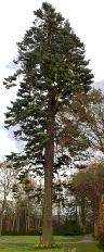The 42 metre  Pacific silver fir, Abies magnifica, now 153 years old